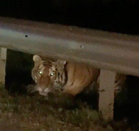 Автомобилисты встретили тигра на шоссе в Приморье