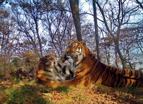 Деньгами Путина решат конфликты людей и тигров