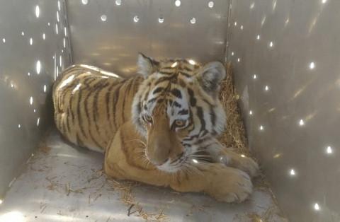 Конфликтную тигрицу поймали в Приморье