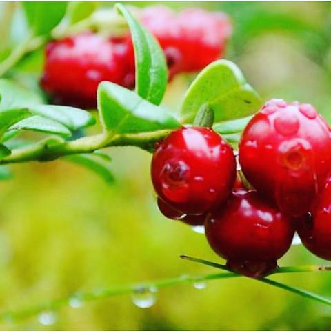 Приморские лесные ягоды захватили Россию