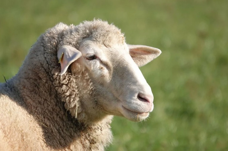 Овечья ферма появится в Приморье