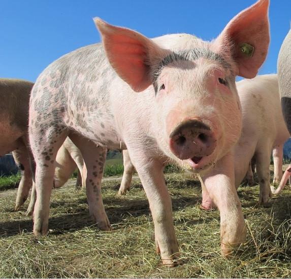 Поголовье свиней в Приморье успешно восстанавливают после эпидемии ящура