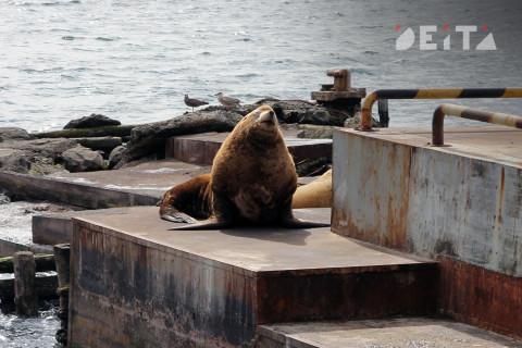 Туристы больше не увидят морских львов на Камчатке - фоторепортаж