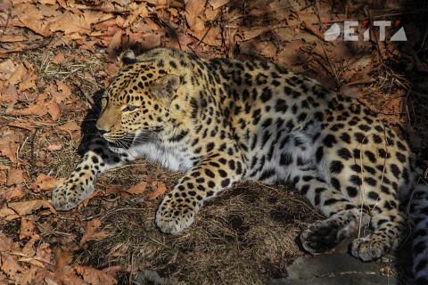 Полицейский леопард мигрировал в Россию