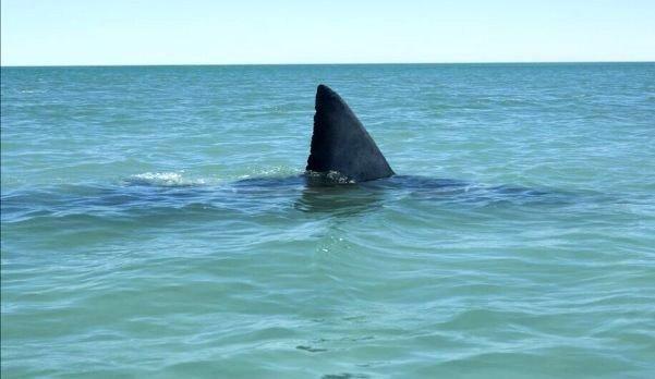 """""""Люди в панике"""": Опасная акула замечена у берегов Приморья"""