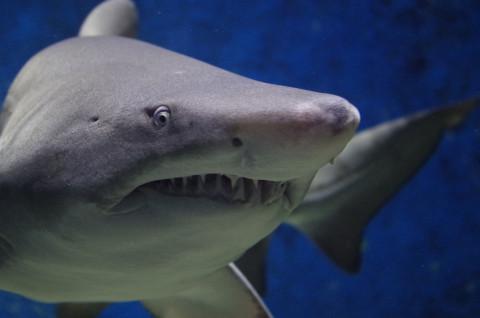 Нашествие акул на Приморье предвидят ихтиологи
