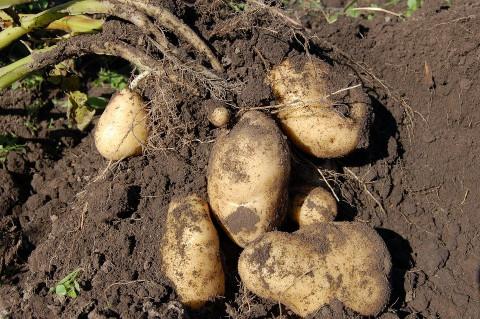 Сезон дач не скинул цену картошки в Приморье