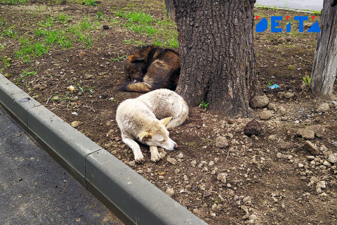 Бродячие собаки терроризируют Владивосток: есть пострадавшие
