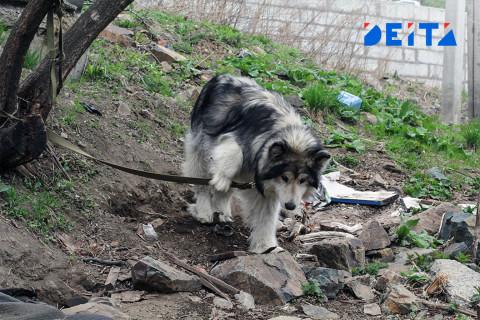 «Просто изверги»: хозяева бросили собаку умирать на жаре